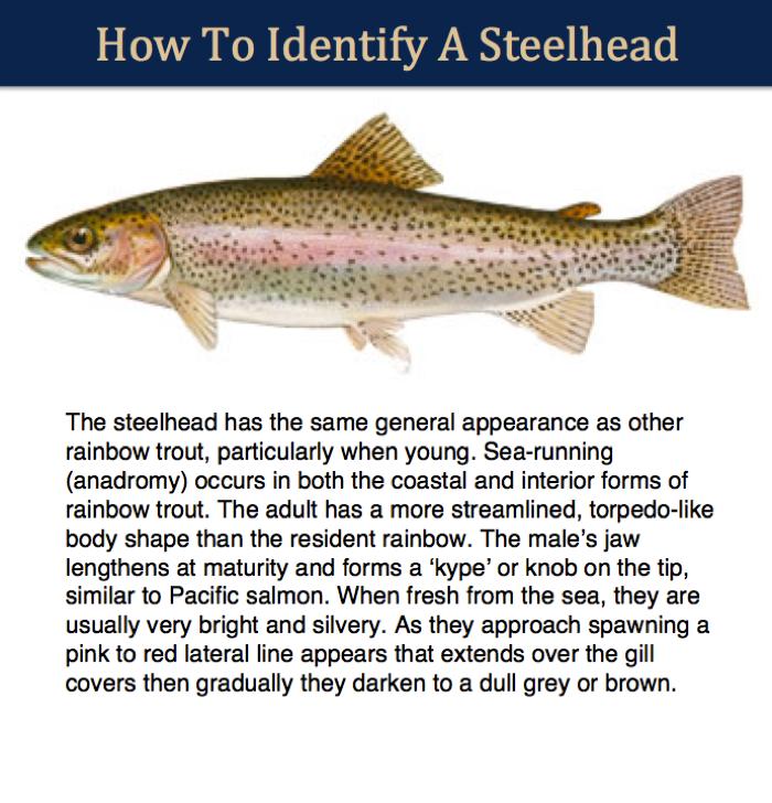 steelhead-identifier